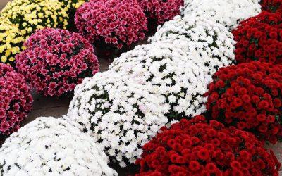"""Akcja """"Chryzantema"""" i darmowe kwiaty dla Was."""